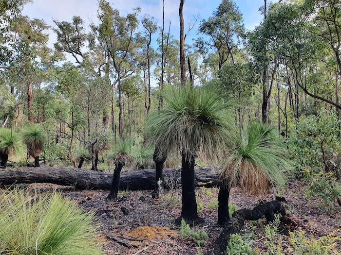 A good stand of grass trees (Xanthorrhoea preissii).