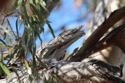 A frogmouth in tree overlooking camp.