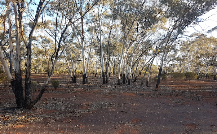 We camped in a stand of Goldfields Blackbutts.