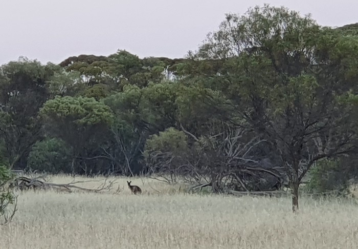Early morning kangaroo at Mindebooka. Often described as diurnal they are, more accurately, crepuscular.